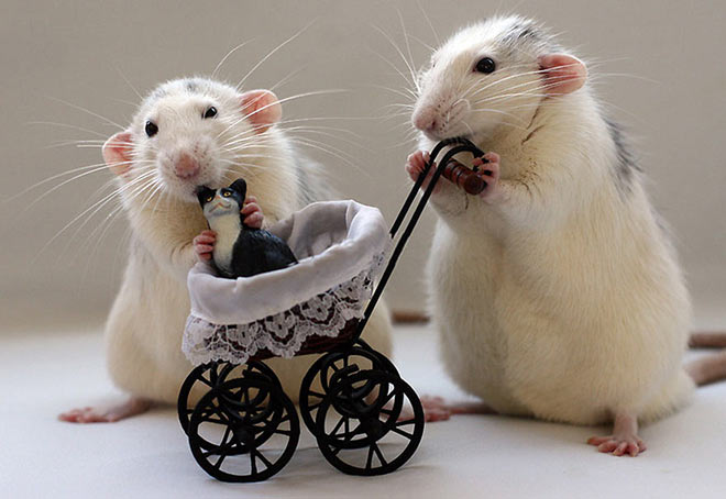 Cute rats with a miniature cat