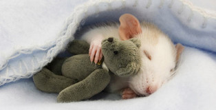 Rat with its Teddy Bear