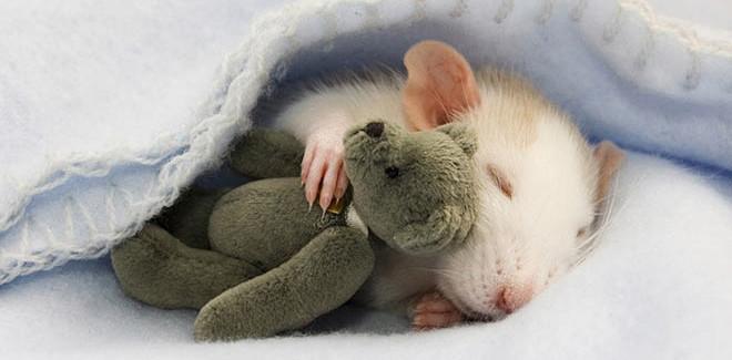 Ratti con il loro Teddy Bear