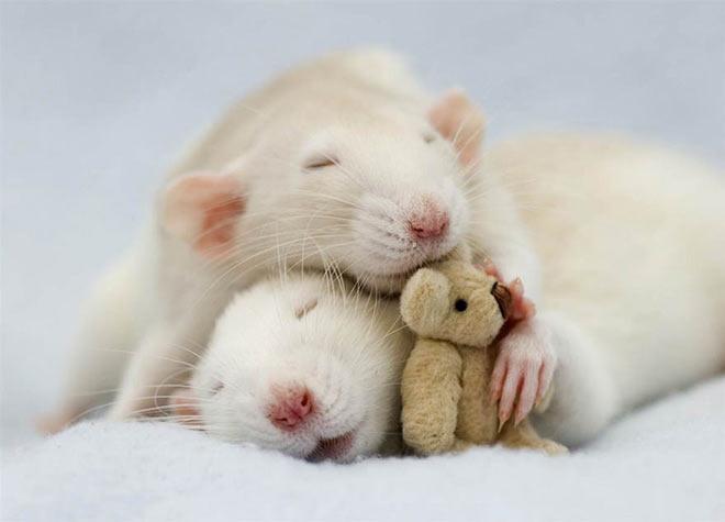 Rats with their Teddy Bear