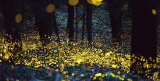 Hiramatsu Tsuneaki - Fireflies