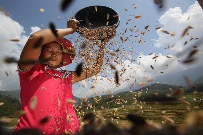 Luca Bracali (ITALY) - Harvest time - Lao Chai, Sapa (Vietnam) – 2014. 1 classificato  IL VALORE CULTURALE DEL RAPPORTO UOMO-CIBO, Siena International Photography Awards.
