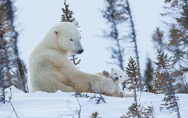 ©Marco Urso - Il signore dell'Artico, l'orso polare e il suo habitat