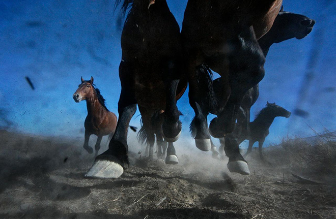 ©Melissa Farlow - Mustangs run on BLM desert in Nevada