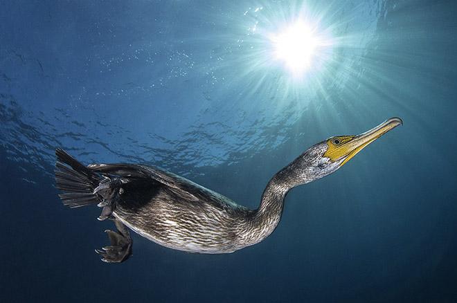 ©Filippo Borghi - Il cormorano
