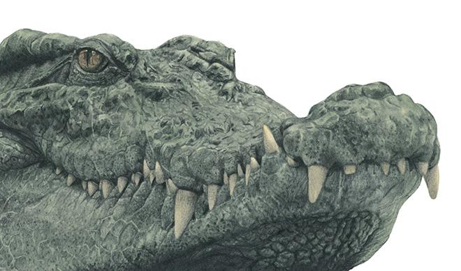 Marco Filicio Marinangeli - Il coccodrillo, 50x35cm, matita e colore su carta