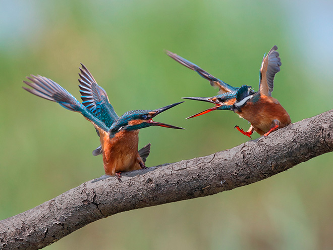 Flavio Bianchedi - Kingfisher vs Kingfisher