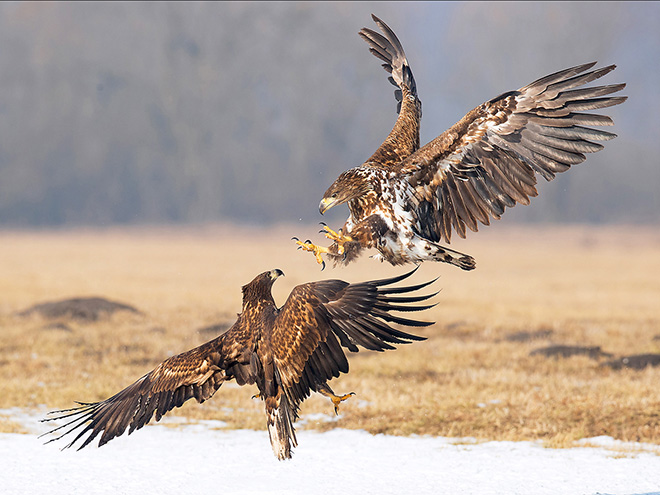 Roberto Zaffi - White tailed eagles fight