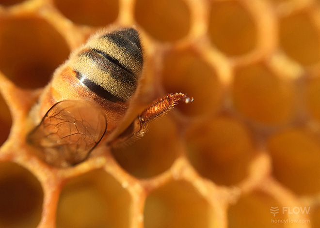 Flow Hive 2 - European honey bee in a natural honeycomb cell. ©Beeinventive Pty.Ltd.