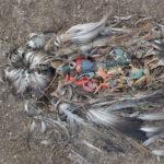 ALBATROSS – La Plastica che uccide