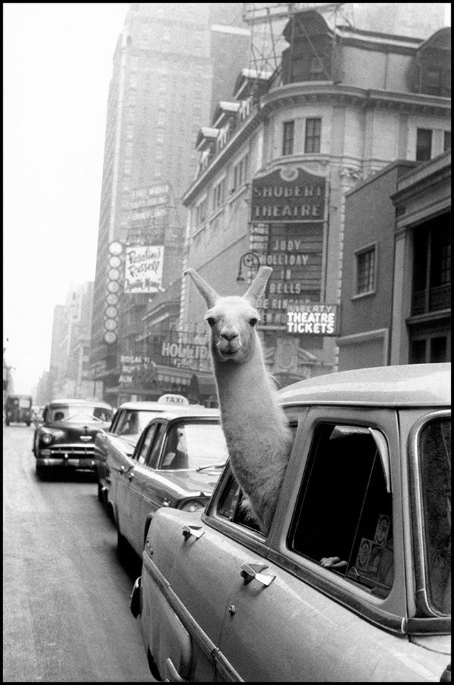 Inge Morath - Un lama a Times Square, New York, 1957. ©Fotohof archiv/Inge Morath/Magnum Photos