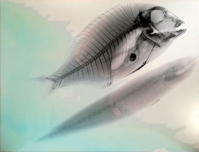 Renato Meneghetti - Vedere oltre, Aldilà del mare/ Rx, Ritratto di pesce persico e sardina in bianco, 2000. Alcohol and resin on pigmented canvas. 84 x 110 cm (33.1 x 43.3 in)