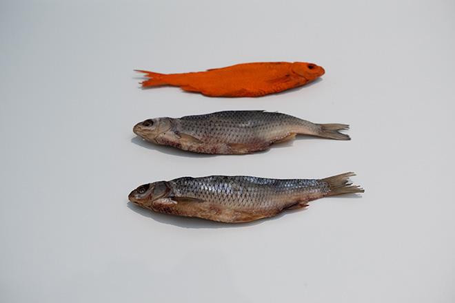 Luca Francesconi - Fish, 2020, Scardola essiccata, cadmio / Dried rudd, cadmium . Veduta di allestimento presso / Installation view at MAMbo – Museo d'Arte Moderna di Bologna, 2020. Photo Enrico Parrinello