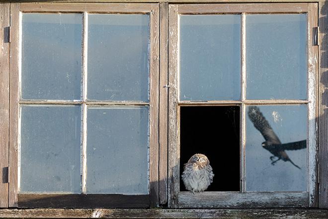 Paul Holman - Startled Owl, UK. Equipment used: Canon 7d II, Canon EF100-400 Mark II. Runner-up - Wildlife category. Nature TTL. © <a href=