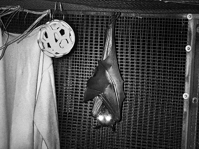 Alessandro Sala (Cesura), USA, Florida, Gainesville, April 5, 2020. Lubee Bat conservancy