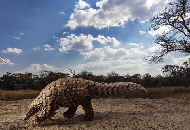 Brent Stirton - Pangolins in Crisis, 1 classificato Storyboard, Siena International Photo Awards 2020