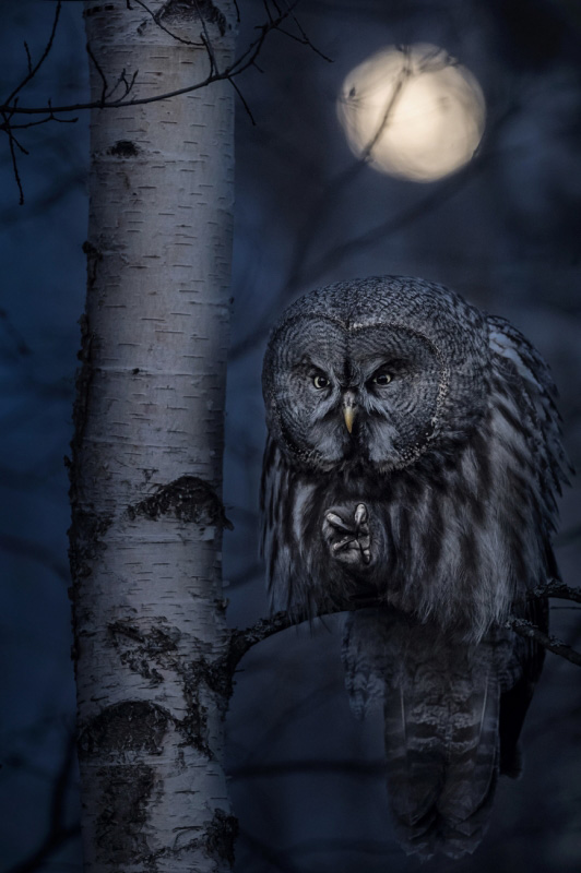 Jonas Classon - Night Hunter, 1 classificato Animals in their environment, Siena International Photo Awards 2020