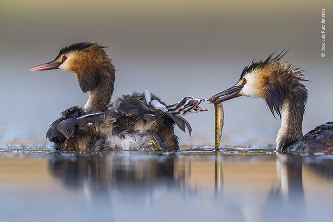 © Jose Luis Ruiz Jiménez / Wildlife Photographer of the Year. Title: Great crested sunrise. Winner: Behaviour: Birds. Wildlife Photographer of the Year is developed and produced by the Natural History Museum, London.
