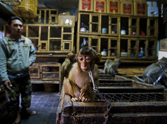 © Paul Hilton / Wildlife Photographer of the Year. Title: Backroom business. Winner: Wildlife Photojournalist Story Award. Wildlife Photographer of the Year is developed and produced by the Natural History Museum, London.