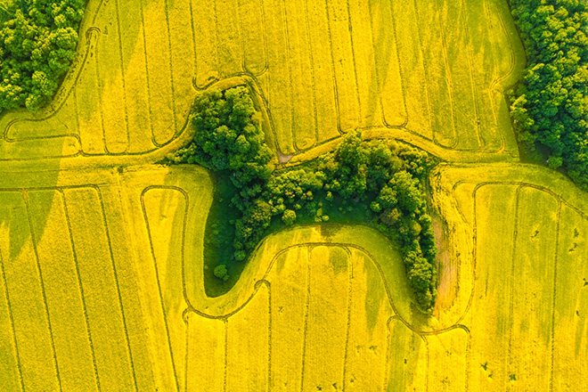 Jan Ulicki | Drone Awards 2021. Title: Poodle in Rapeseed, Lower Silesian Voivodeship (Poland)